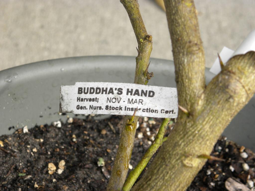 buddha's hands nov-march